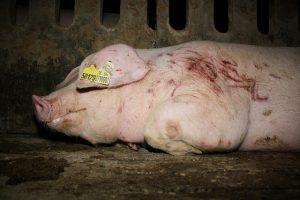 Bild von Schwein